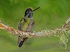 Magnificent Hummingbird - Savegre Mountain Lodge