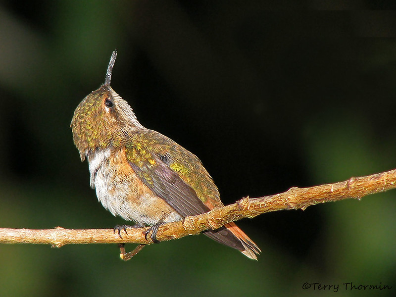 Scintillant Hummingbird female - Savegre