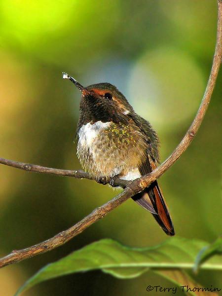 Scintillant Hummingbird - Savegre