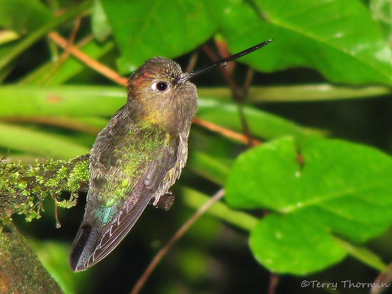 Green-fronted Lancebill - Tapanti