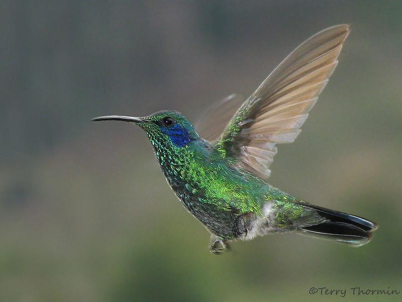 Green Violetear - Savegre