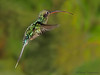 Green Hermit in flight - Rancho Naturalista