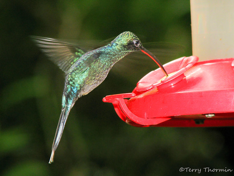 Green Hermit in flight - Rancho Naturalista