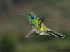 Green Violetear in flight - Savegre