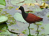 Northern Jacana - Rancho Naturalista
