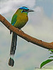 Blue-crowned Motmot - Rancho Naturalista