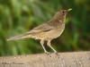 Clay-colored Thrush - Chinchona