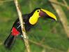 Chestnut-mandibled Toucan - Selva Verde