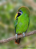 Emerald Toucanet - Chinchona