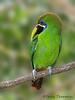 Emerald Toucanet - Chinchona