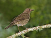 Mountain Thrush - Savegre Mountain Lodge