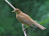 Clay-colored Thrush - Selva Verde