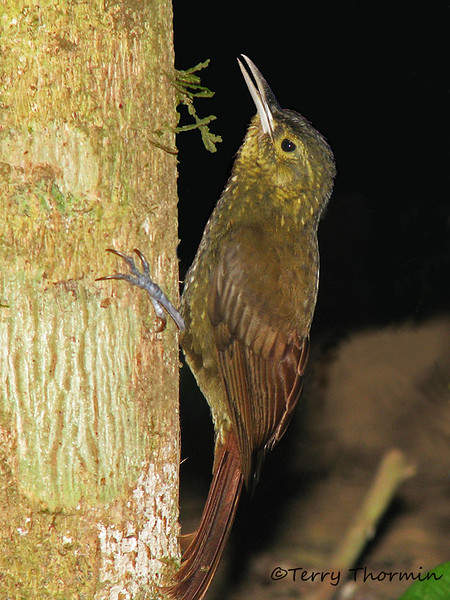 Spotted Woodcreeper - Rancho Naturalista