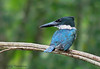 Amazon Kingfisher, Selva Verde