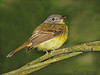 Tawny-chested Flycatcher - Rancho Naturalista