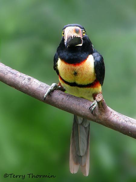 Collared Aracari - Rancho Naturalista