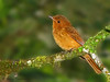 Rufous Mourner - Rancho Naturalista