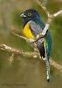Violaceous Trogon - Rancho Naturalista
