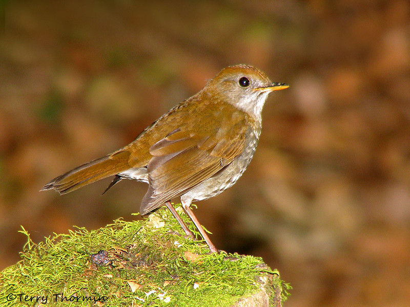 Ruddy-capped Nightingale Thrush - Savegre Mountain Lodge