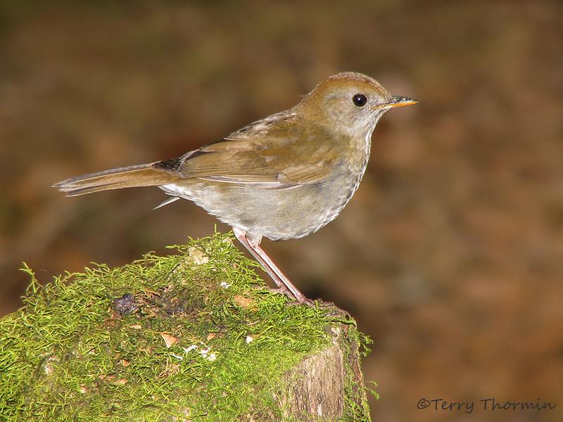 Ruddy-capped Nightingale Thrush - Savegre Mountain Lodge