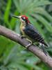 Black-cheeked Woodpecker, Rancho Naturalista