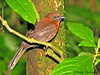 Red-throated Ant-Tanager - Selva Verde