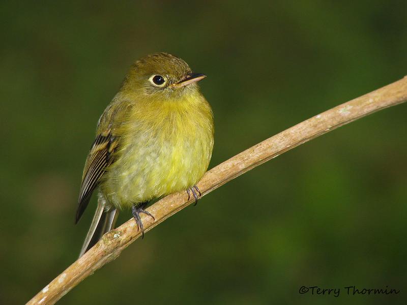 Yellowish Flycatcher - Savegre Mountain Lodge