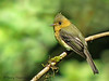 Tufted Flycatcher - Savegre Mountain Lodge