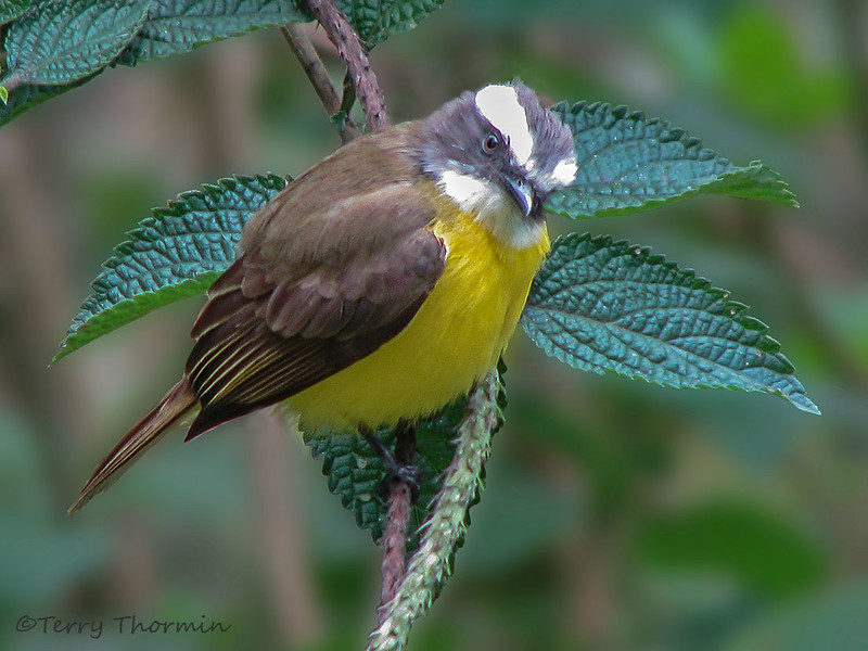 Social Flycatcher, Rancho Naturalista
