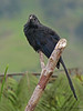 Groove-billed Ani - Rancho Naturalista