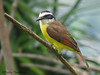 Great Kiskadee - Rancho Naturalista