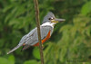 Ringed Kingfisher, Selva Verde