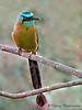 Blue-crowned Motmot - San Jose