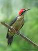Black-cheeked Woodpecker - Rancho Naturalista