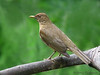 Clay-colored Thrush, Rancho Naturalista