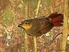 Buff-throated Foliagegleaner - Rancho Naturalista