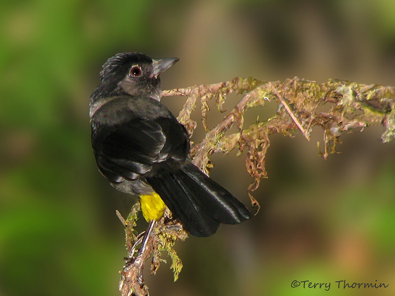Yellow-thighed Finch, Savegre Mountain Lodge
