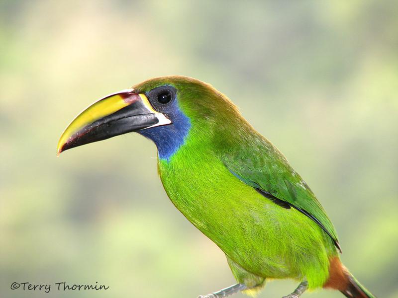 Emerald Toucanet - Cinchona