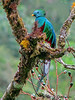 Respendant Quetzal - Savegre Mountain Lodge