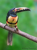 Collared Aracari - Rancho Naturalista