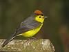 Collared Redstart - Savegre Mountain Lodge