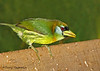 Red-headed Barbet female - Cinchona
