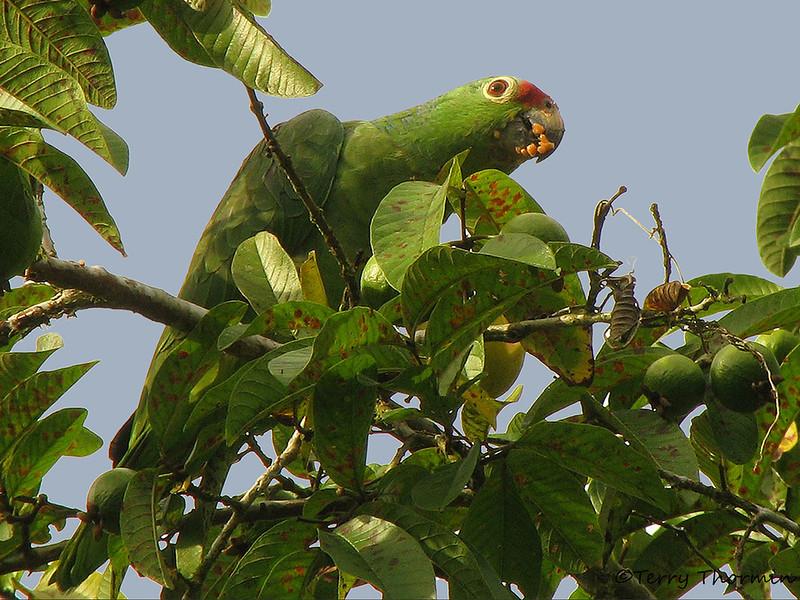 Red-lored Parrot - La Selva