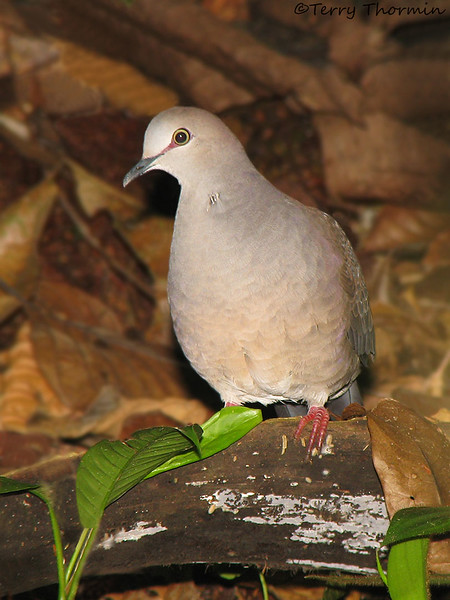 Gray-chested Dove - Selva Verde
