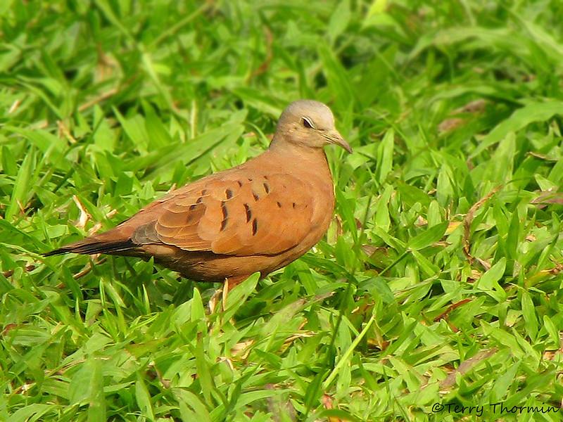 Ruddy Ground Dove - La Selva