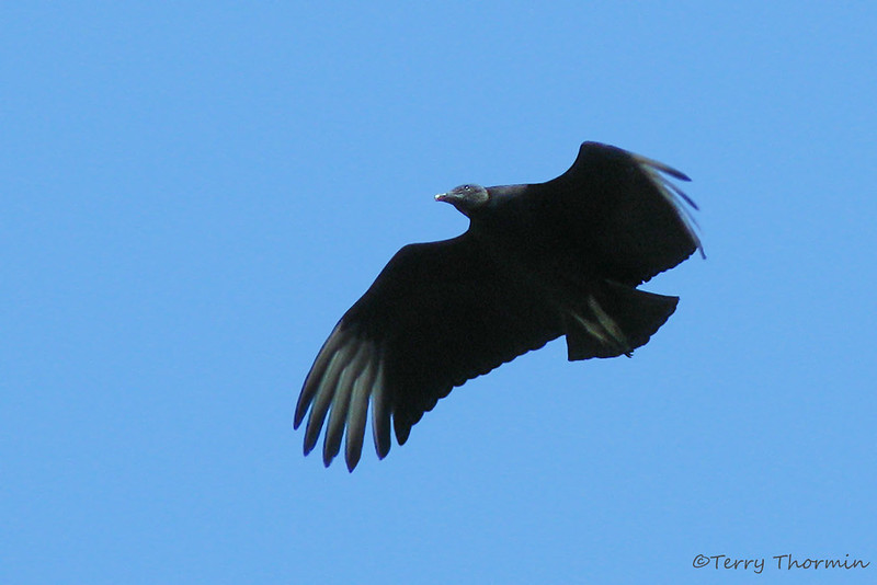 Black Vulture in flight - Savegre Mountain Lodge