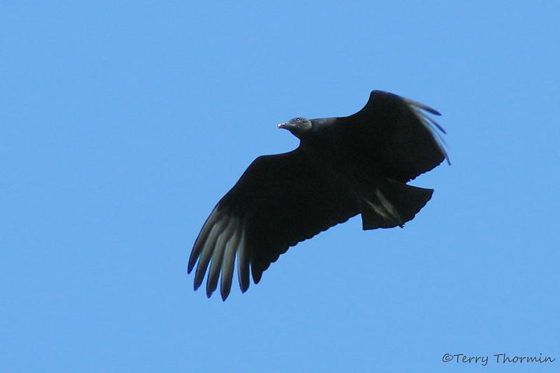 Black Vulture in flight - Savegre Mountain Lodge