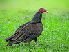 Turkey Vulture - Rancho Naturalista