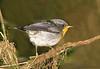 Flame-throated Warbler juvenile, Savegre