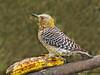 Hoffmann's Woodpecker - Rancho Naturalista